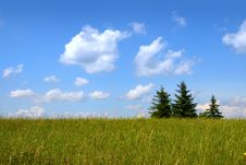 Three Pine Trees In A Meadow Stock Image