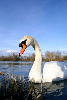 Free Swan Royalty Free Stock Photos - 17792178