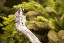 Free Lemur Perch Royalty Free Stock Photo - 17792315