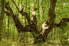 Free Giant Oak Royalty Free Stock Image - 17793526