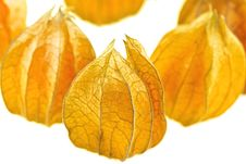 Free Physalis Stock Images - 17793934