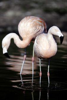 Free Flammimg Flamingos Stock Images - 17795404