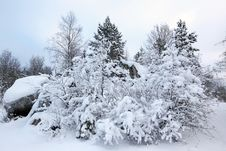 Trees In Snow In The Winter Forest Stock Images