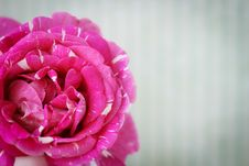 Free Retro Postcard With Pink Rose Stock Images - 17795674