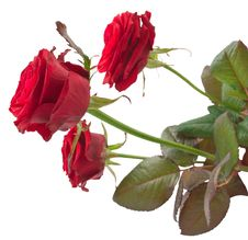Free Red Roses Royalty Free Stock Photo - 17797725