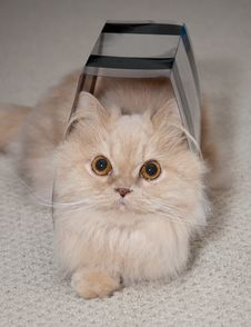 Free Close Up Persian Cat Royalty Free Stock Photos - 17798588