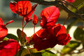 Free Red Flowers Stock Image - 1788511
