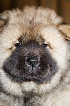 Free Thoroughbred Puppy Of A Chow Stock Image - 1780571