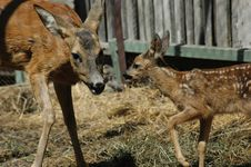 Free Deer And Her Baby Stock Image - 1784551