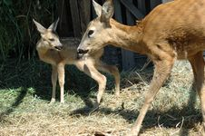 Mother Deer And Her Baby Stock Image
