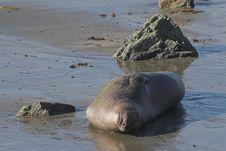 Free Elephant Seal Royalty Free Stock Photos - 1785328