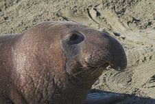 Free Elephant Seal Stock Images - 1785334