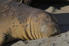 Free Elephant Seal Royalty Free Stock Images - 1785379