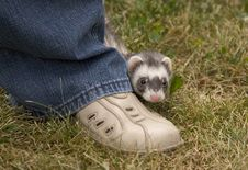 Free Hiding Ferret Royalty Free Stock Photo - 1785735