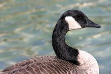 Free Goose Stock Photos - 1785783