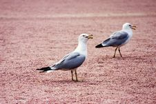 Free Seagulls Stock Photography - 1785902