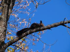 Free Black Squirrel On The Branch Stock Images - 1787874