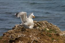 Free Copulation Of Seagulls Royalty Free Stock Photos - 1788258