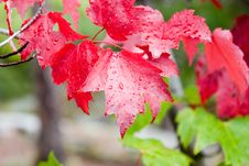 Free Maple Leaves Royalty Free Stock Images - 1789439
