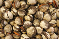 Free Fresh Clams Stock Images - 17800124