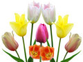 Free Spring Flowers Tulips Stock Photo - 17802660