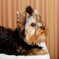 Cute Yorkshire Terrier Puppy Stock Photo