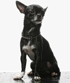 Free Little Black Puppy Terrier Stock Photography - 17801172