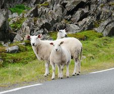 Free Several Sheep In The Norwegian Road Stock Photography - 17805972