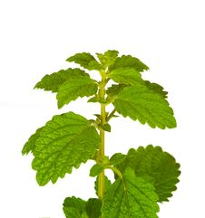 Free Fresh Mint Leaves, Isolated Stock Photos - 17807863
