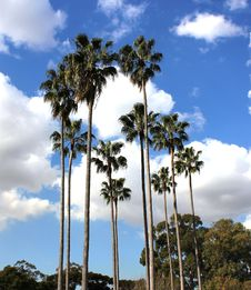 Free Palm Trees Royalty Free Stock Photography - 17808907