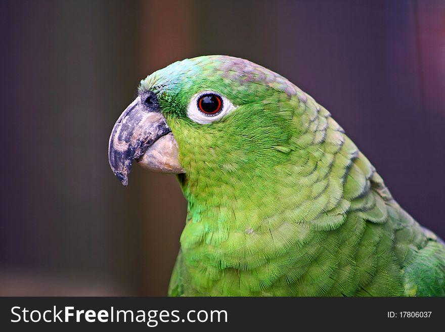 Green Cockatiel Head