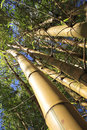 Free Bamboo Stems And Leaves Royalty Free Stock Photo - 17813865