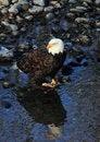 Free Bald Eagle Royalty Free Stock Image - 17816346