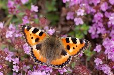 Free Small Tortoiseshell On Heather Stock Image - 17811421