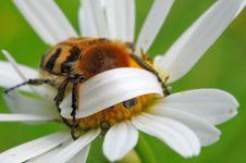 Free Bee Beetle Stock Photo - 17811460