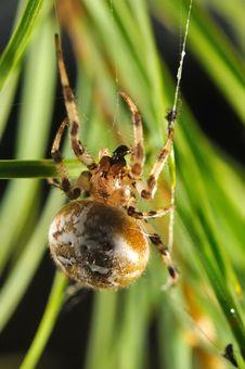 Free European Garden Spider Royalty Free Stock Images - 17811659