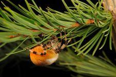 Free European Garden Spider Stock Photos - 17811673