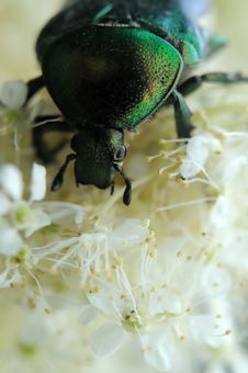 Free Rose Chafer Royalty Free Stock Images - 17811879