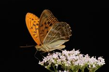 Free Silver-washed Fritillary Royalty Free Stock Photography - 17812057