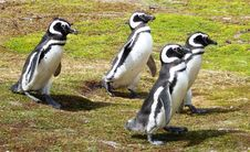 Free Penguins In South America Royalty Free Stock Photo - 17812065