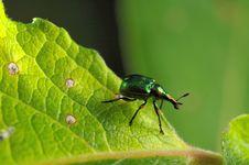 Free Poplar Leaf-roller Royalty Free Stock Photos - 17812208