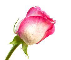 Free Rose Royalty Free Stock Image - 17813486