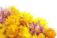 Free Dried Strawflowers Royalty Free Stock Photo - 17813555