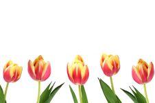 Free Tulips Stock Image - 17813621