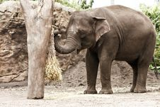 Free Asian Elephant In Zoo, Eating Straw. Royalty Free Stock Photo - 17814835