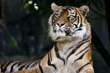 Free Adult Tiger Resting In Dark Jungle Royalty Free Stock Image - 17814866
