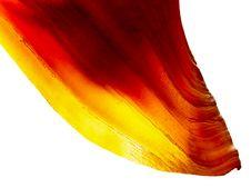 Free Backlit Sea Shell Stock Photo - 17815050