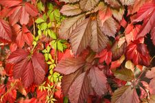 Free Leaves Of Wild Grapes Stock Photography - 17817772