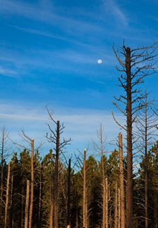 Moon Over Dead Pine Trees Royalty Free Stock Photo