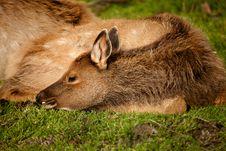 Free Baby Elk Calf Royalty Free Stock Photos - 17819608